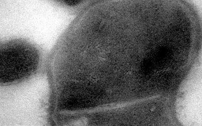 Des chercheurs ont découvert dans notre bouche une petite espèce de bactérie qui en parasite d'autres et pourrait les rendre dangereuses pour notre santé.